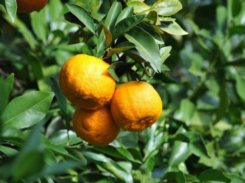 HAM-piña-de-naranjas